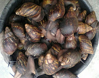 snail farming for beginners pdf