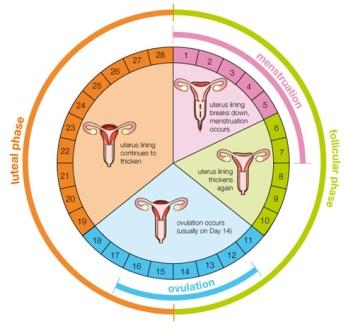pregnancy wheel pdf