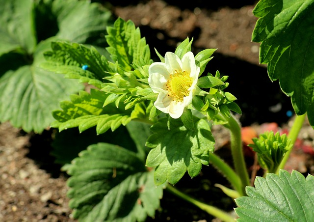 strawberry planting guide